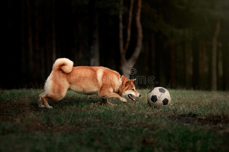 Dog breed red Japanese Shiba. Walking in autumn park stock photography