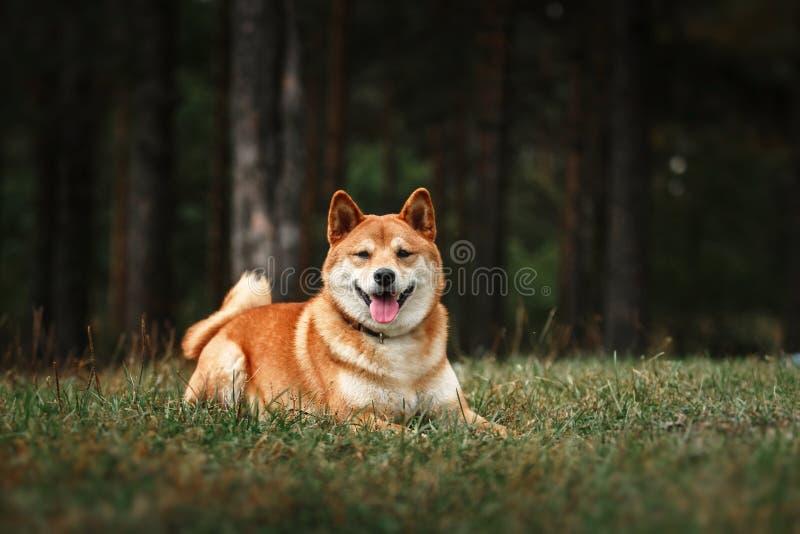 Dog breed red Japanese Shiba. Walking in autumn park royalty free stock photo