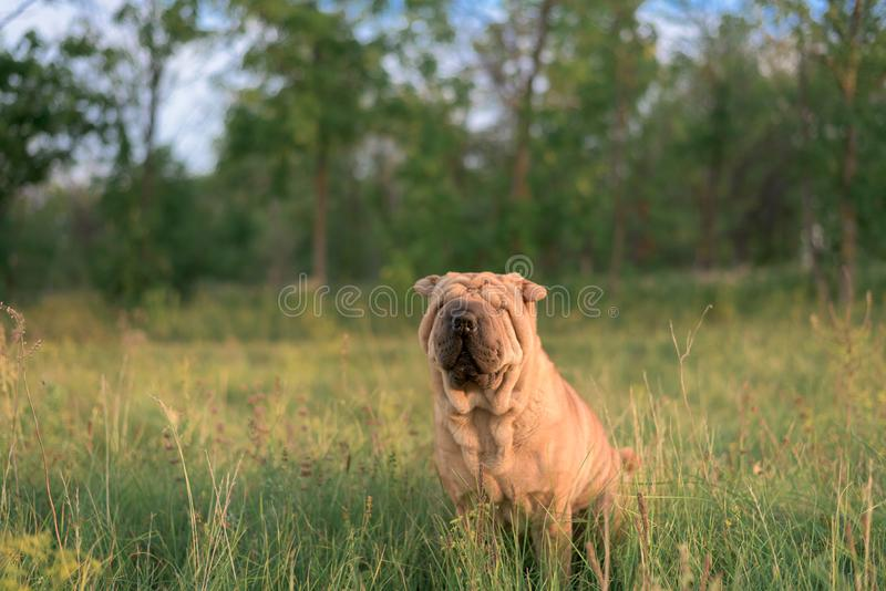 Dog breed Shar Pei sitting in the box, closed his eyes from the sun and turned the ears. funny animal . close up stock photos