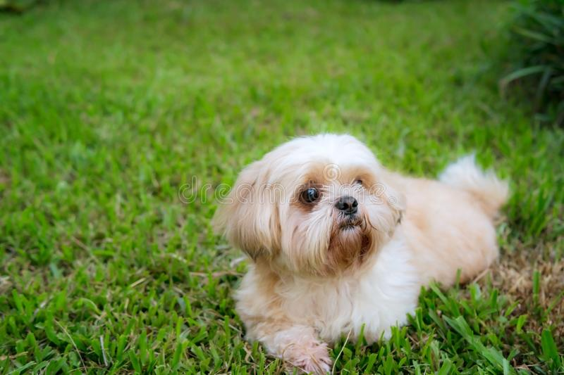 Dog breed Shih-Tzu Brown fur That is in the garden of grass. And there is a cute chubby-looking shape and was lying comfortably stock photos