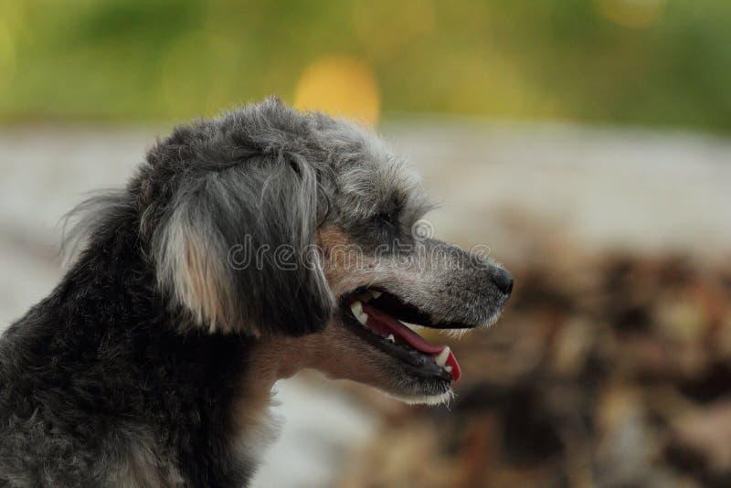 Shih Tzu Poodle. She is a dog breed Shih Tzu Poodle royalty free stock photo
