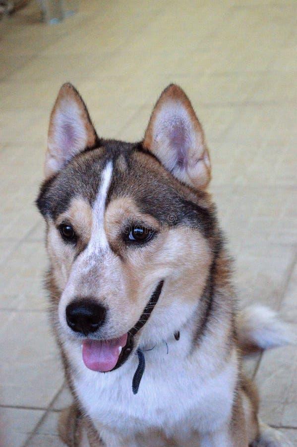 Dog breed Siberian Husky royalty free stock photography