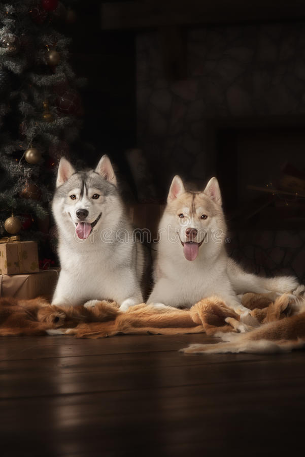 Dog breed siberian husky, portrait dog on a studio color background, Christmas and New Year. Dog lying near fireplace royalty free stock photos