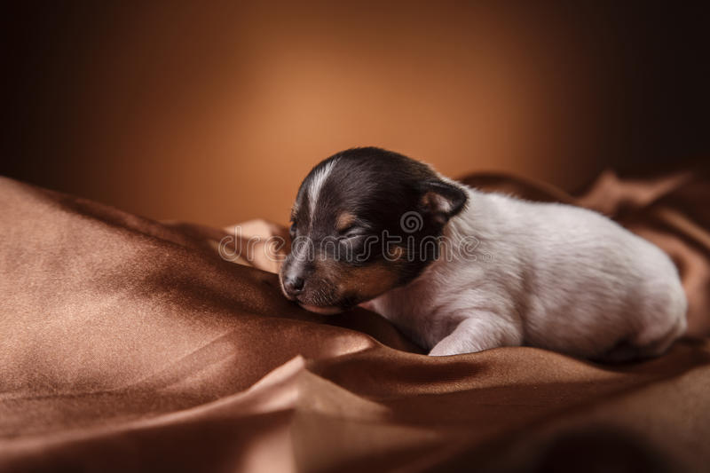 Dog breed Toy fox terrier puppy. Studio portrait little puppy breed Toy fox terrier on color background stock images