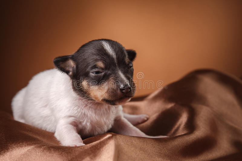 Dog breed Toy fox terrier puppy. Studio portrait little puppy breed Toy fox terrier on color background royalty free stock images