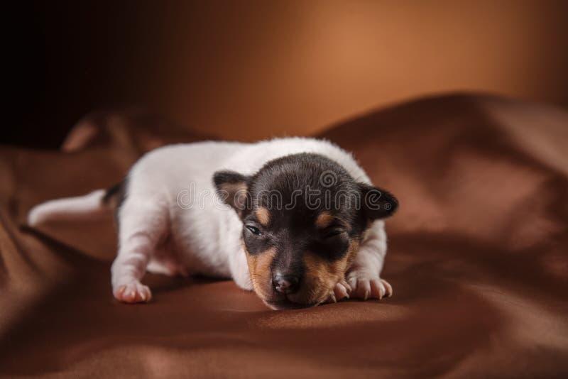 Dog breed Toy fox terrier puppy. Studio portrait little puppy breed Toy fox terrier on color background stock image