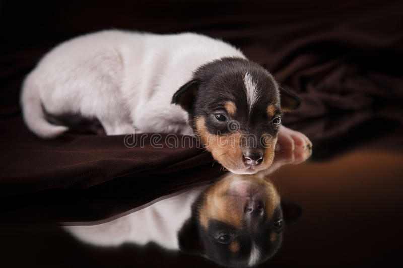 Dog breed Toy fox terrier puppy. Studio portrait little puppy breed Toy fox terrier on color background royalty free stock photos