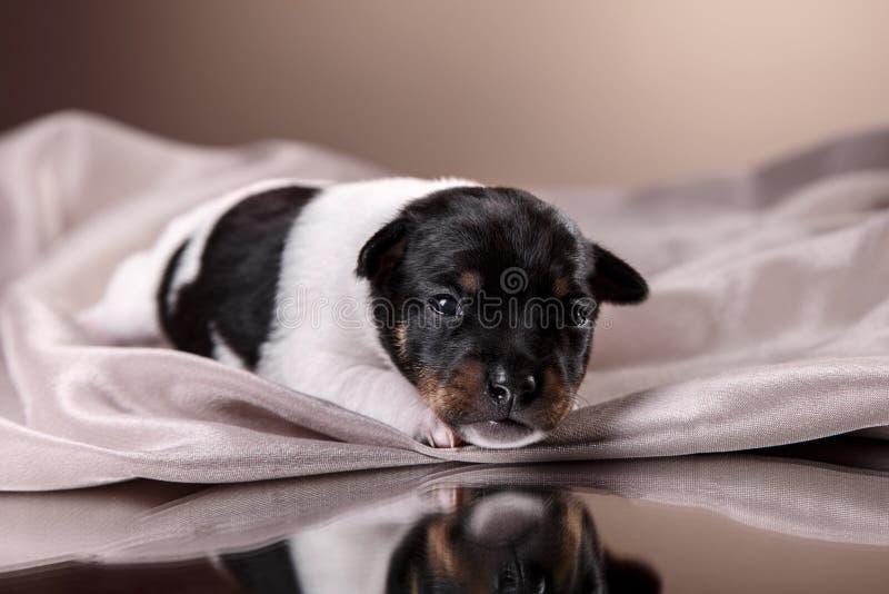 Dog breed Toy fox terrier puppy. Studio portrait little puppy breed Toy fox terrier on color background stock photos