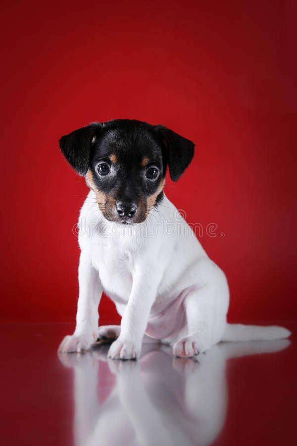 Dog breed Toy fox terrier puppy. Studio portrait puppy on a red background stock photography
