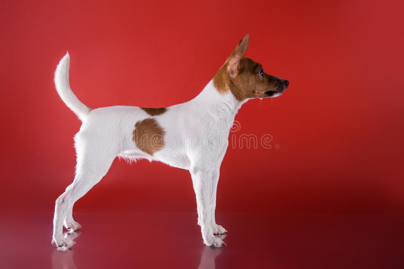 Dog breed Toy fox terrier puppy stock photography