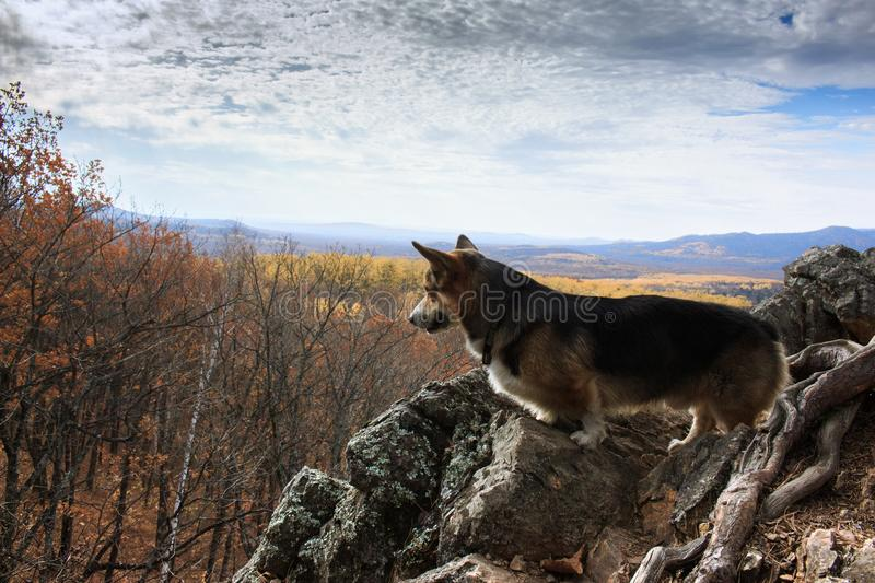 Dog breed welsh corgi pembroke on a cliff against the background royalty free stock photography