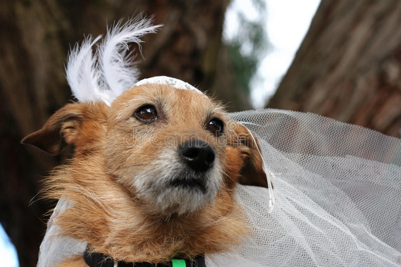 Dog In A Bridal Veil Stock Images