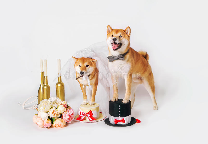 Dog bride and groom. Shib-inu dressed up in bride and groom costumes royalty free stock photography