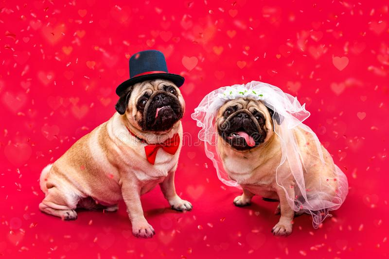 Dog bride and groom. Two pugs. Dog wedding. Bride and groom royalty free stock photos