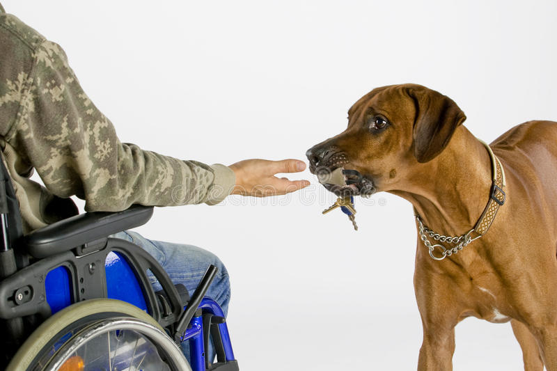 Dog bringing key. A Rhodesian Ridgback male is helping his owner who is sitting in the wheel chair. The dog is bringing the key stock photography