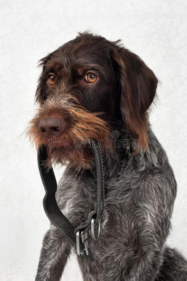 The dog is holding the dog collar. The dog brought his dog collar for the owner royalty free stock images