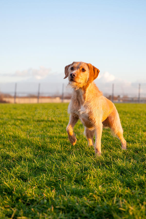 Dog. A brown dog, outside in nature, on a sunny winterday royalty free stock photo