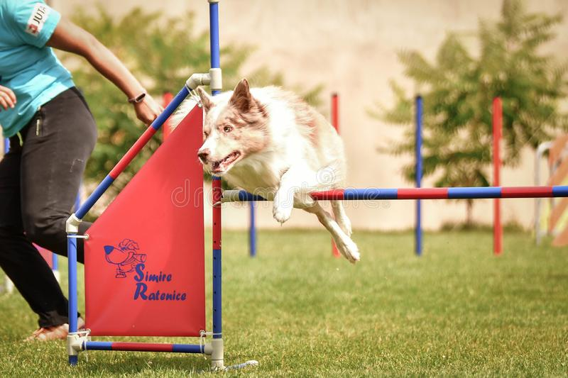 Dog brown and white border collie is jumping over the hurdles. royalty free stock photos
