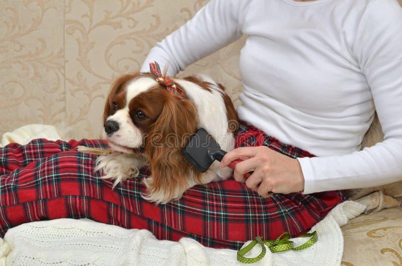 Dog Brushing on Lap stock photo