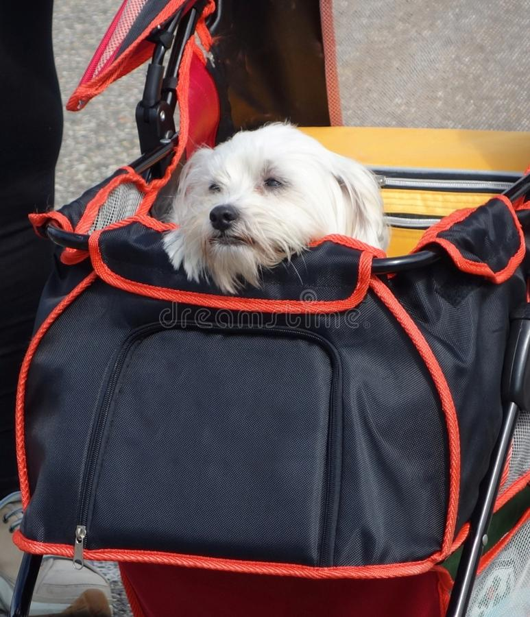 Dog in buggy. Little adorable dog in buggy stock photography
