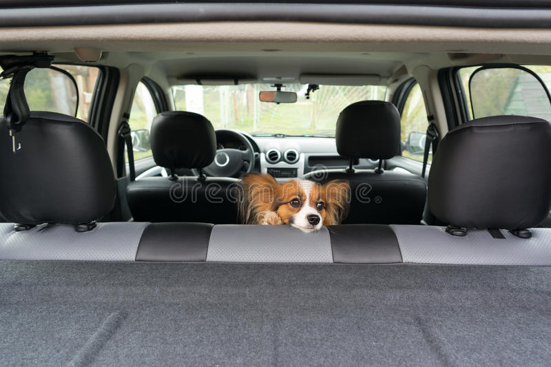 Dog In Car Stock Photo