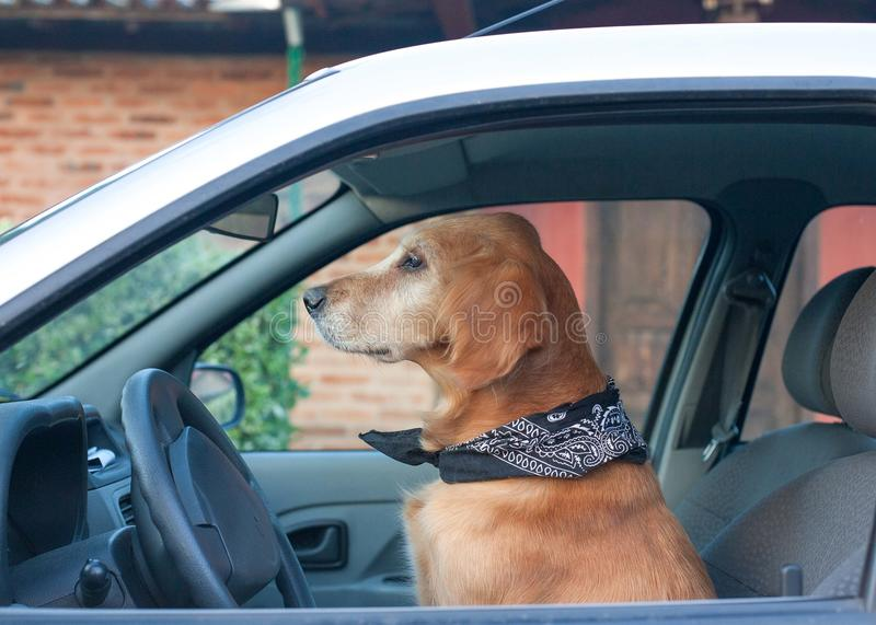 Dog pretending driving a car looking ahead stock photography