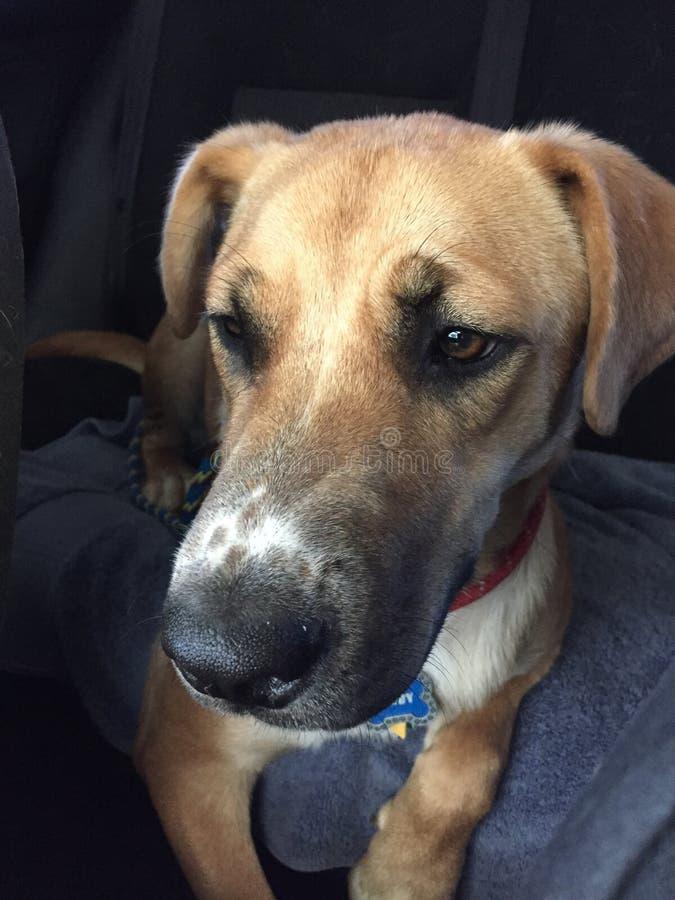 Dog in Car stock image