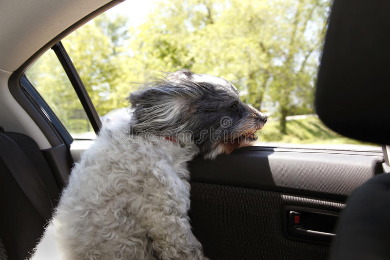 Dog car window. Small dog gets wind blown looking out moving car window stock photo