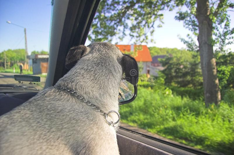 Dog in car window royalty free stock photography