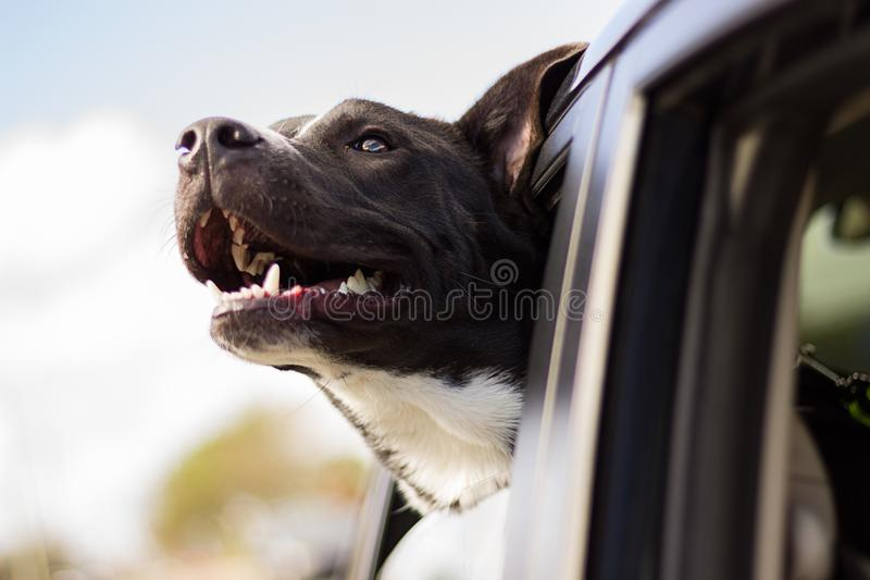 Dog In Car Window Free Public Domain Cc0 Image