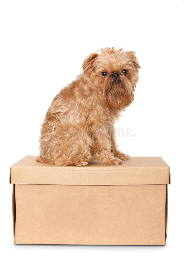 Download Dog on Cardboard Box stock photo. Image of pets, isolated - 26649382