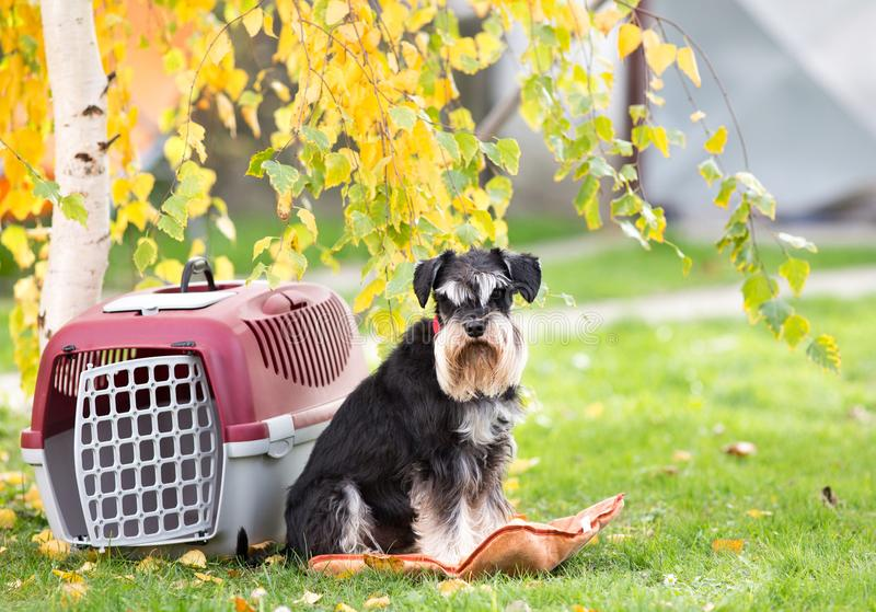 Dog beside carrier in park. Cute dog sitting on pillow bee plastic carrier on grass in park royalty free stock images