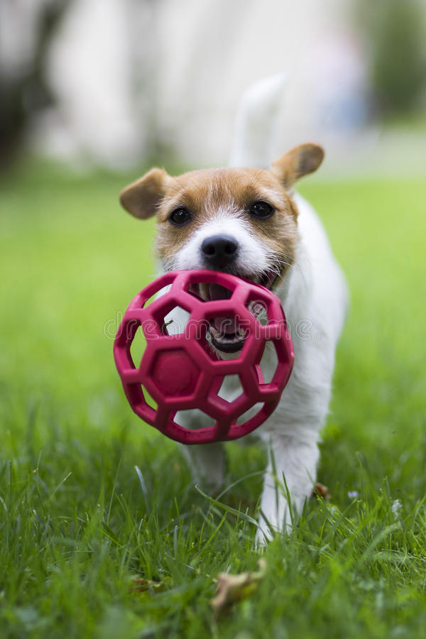 A dog carries a red ball. royalty free stock images