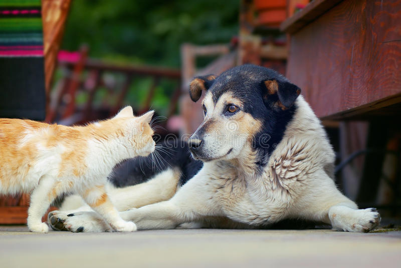 Download Dog and cat stock image. Image of together, beauty, couple - 27959127