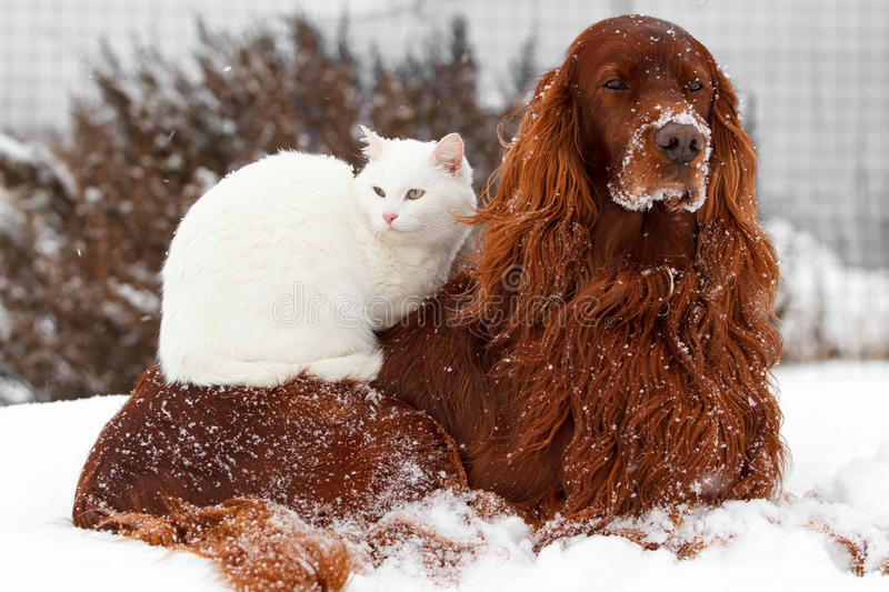 Dog and cat. Red irish setter dog and white cat in snow