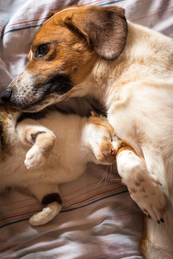 Dog and cat cuddle on bed stock image