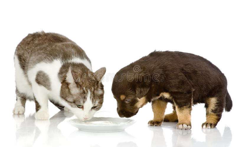 Download The Dog And Cat Eat Together. Stock Photo - Image of lick, couple: 35082788