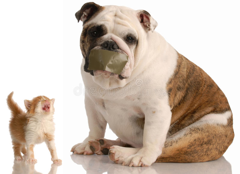 Dog and cat fight. English bulldog with tape on mouth sitting beside complaining kitten stock photo