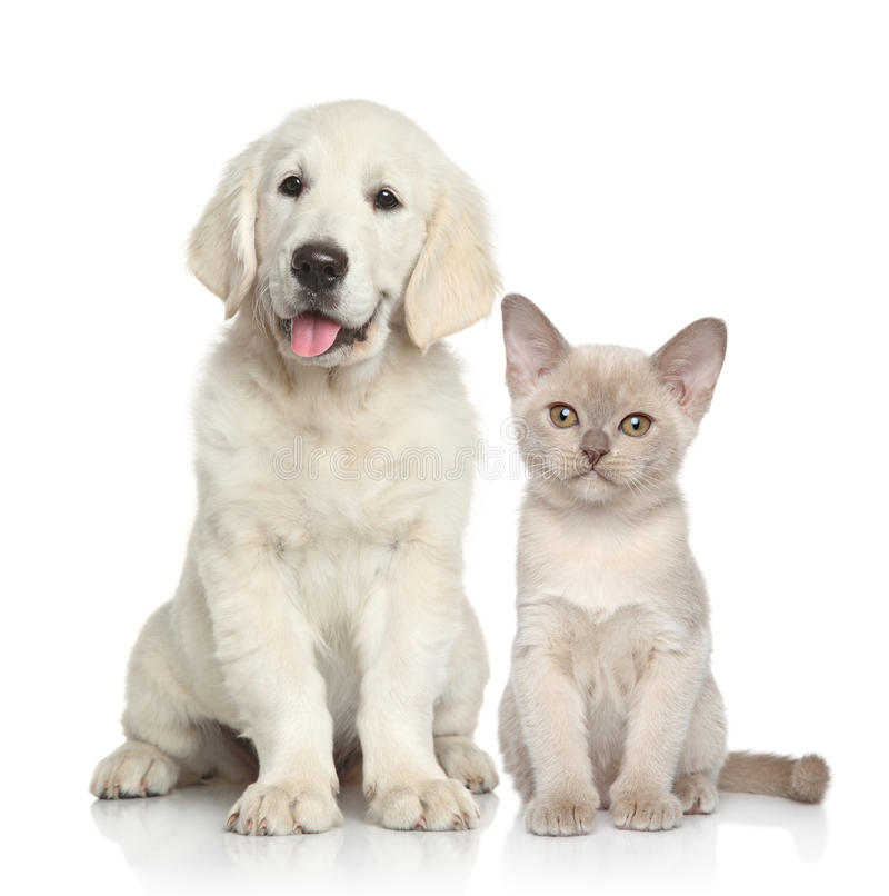 Dog and Cat together. Cat and dog together. Golden Retriever puppy and Burmese kitten on white background stock photos