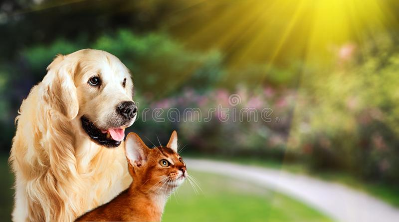 Dog and cat together on grass, summer concept. Abyssinian cat, golden retriever together.  stock photography