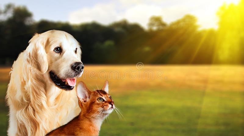 Dog and cat together on grass, summer concept. Abyssinian cat, golden retriever together.  royalty free stock photo