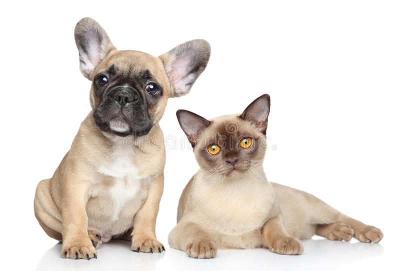Download Dog And Cat On A White Background Stock Photo - Image of together, breed: 23876372