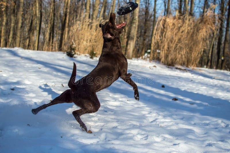 Dog catches frisbee royalty free stock photos