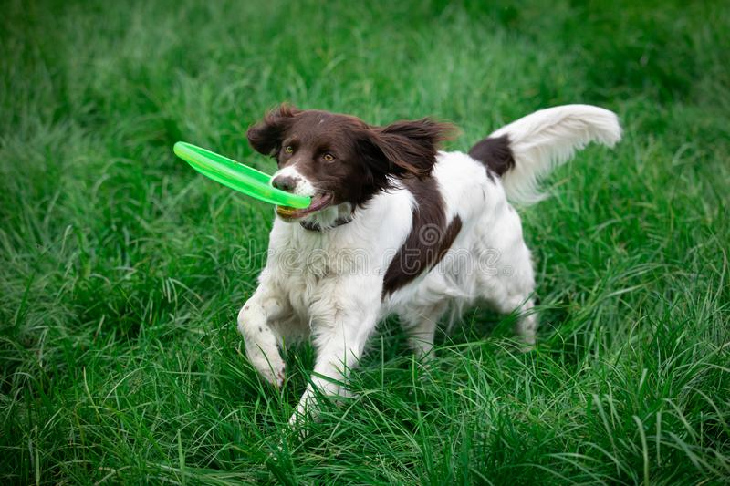 Dog catching disc and runs with it. A dog is catching a disc and runs away with it stock photos