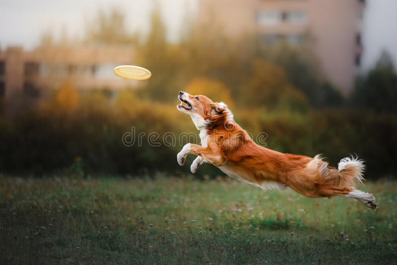 Dog catching disk in jump royalty free stock image