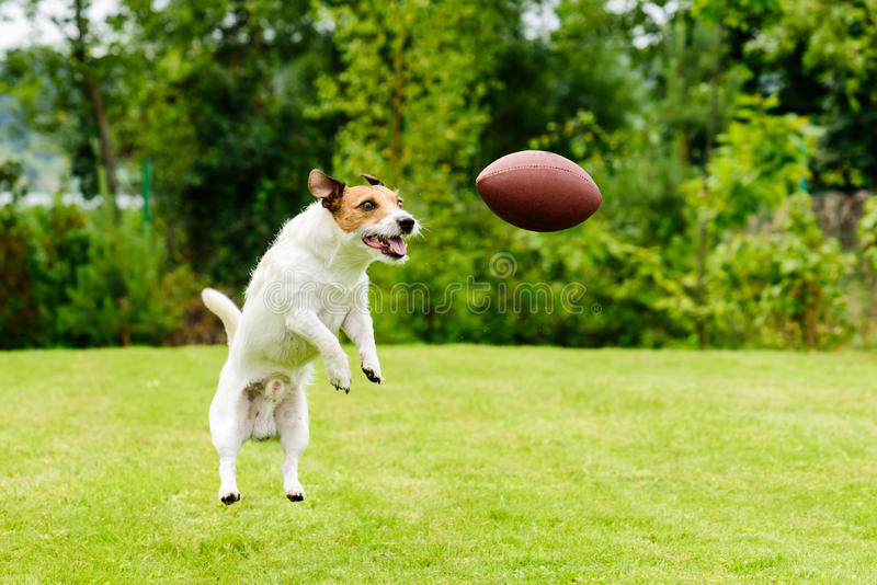 Leisure time at back yard with american football ball and pet. Dog catching Rugby ball at back yard royalty free stock photography