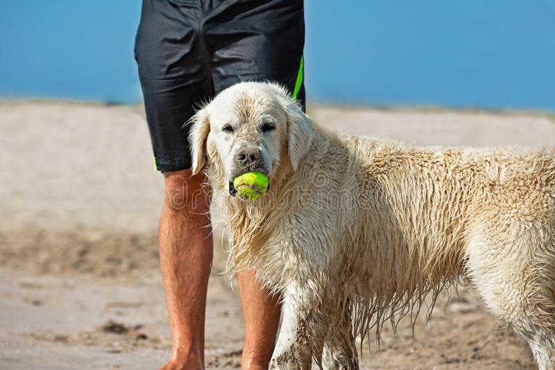 Dog catching the tennis ball in the beach waiting next to the legs of its master royalty free stock images