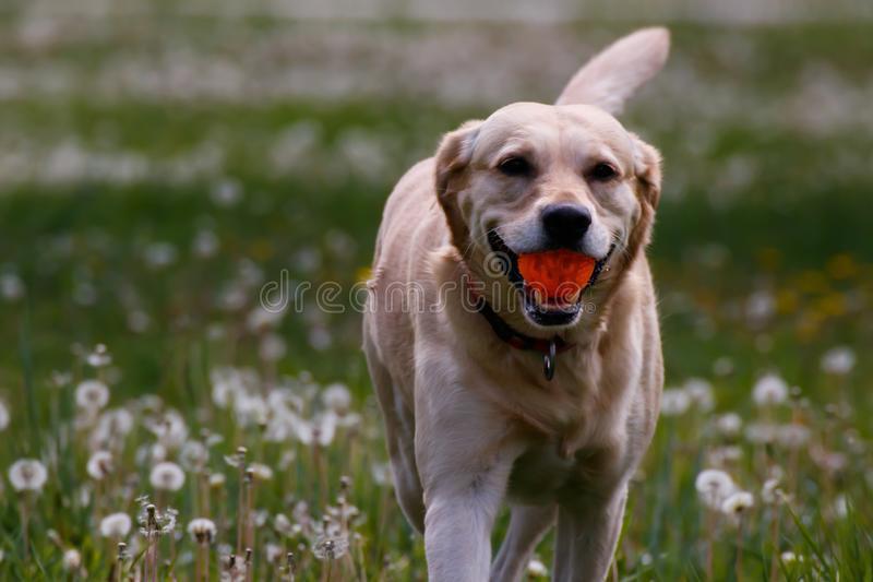 Dog playing with rubber ball close take stock images