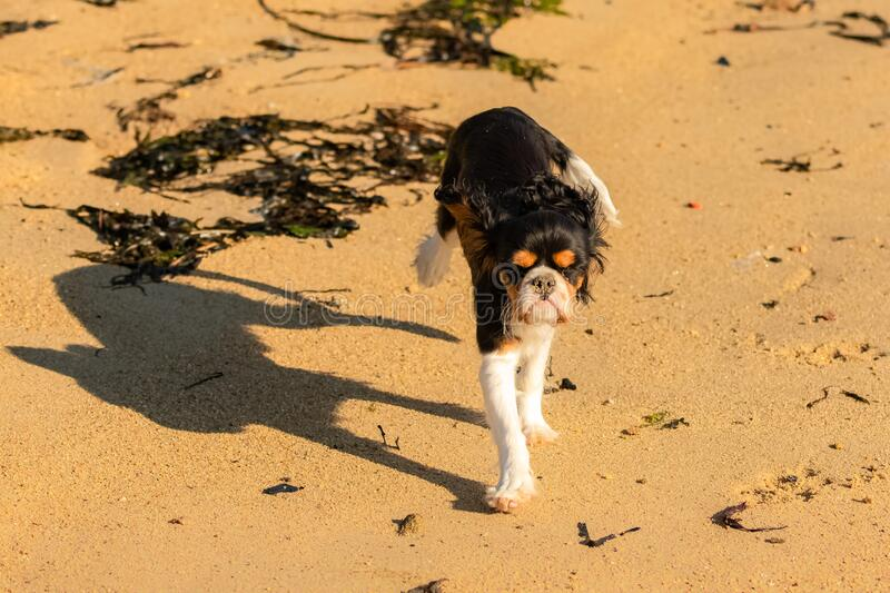 A dog cavalier king charles. A cute puppy running on the beach stock images