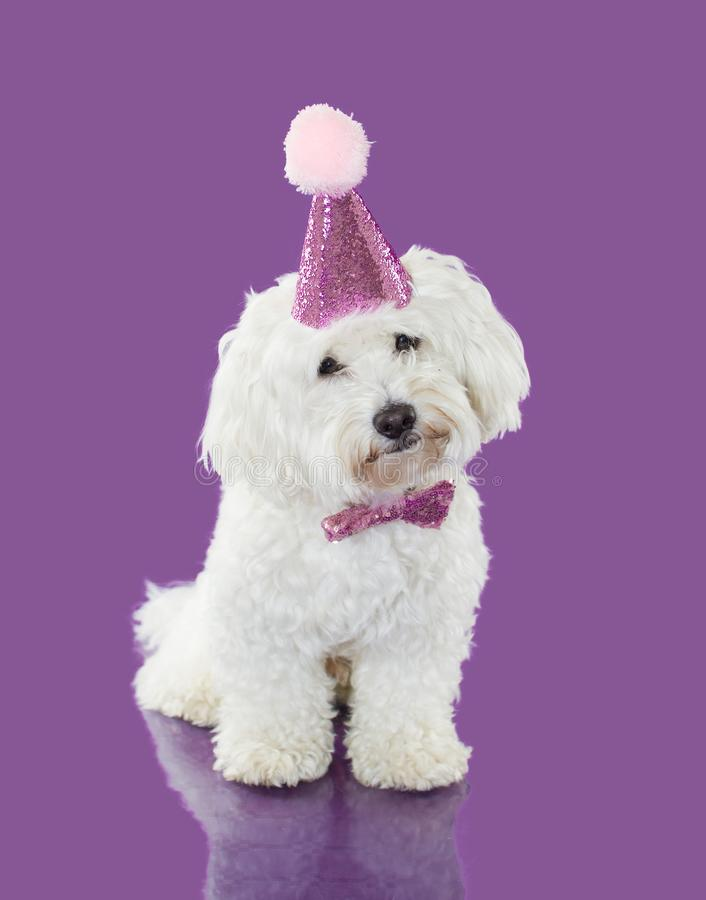DOG CELEBRATING A BIRTHDAY OR ANNIVERSARY WEARING A PINK PARTY HAT. ISOLATED SHOT AGAINST VIOLET BACKGROUND.  royalty free stock photos